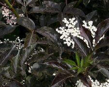 Holunder Fliederbeere Sambucus nigra 'Black Beauty' ®  40 - 60 cm im Container