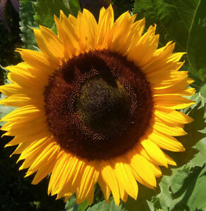 TOURNESOL GEANT DE CALIFORNIE - Lot de 25 graines