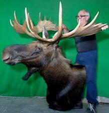 New Moose Mount Taxidermy Head, Trophy Alaskan Bull!#D11 Deer Antler Chandelier