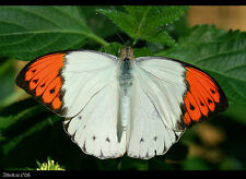 Real Monarch Great Orange Tip Butterfly Brooch & Pendant Natural White/Orange