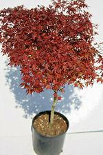 Acer giapponese palmato jerry swartz di 4 anni alti 100-120cm in vaso 22cm