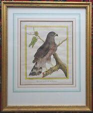 FRANCOIS MARTINET Epervier A Gros Bec De Cayenne Buffon Histoire Oiseaux C1773