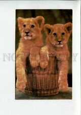 3153820 Zoo Little Lion in Basket Old Russian Color Pc