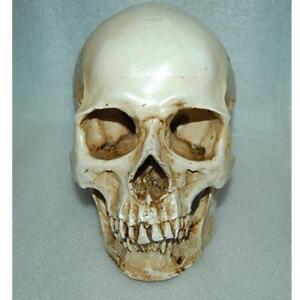 1:1 Scale Human Head Skull Replica Resin Anatomical  Skeleton Models