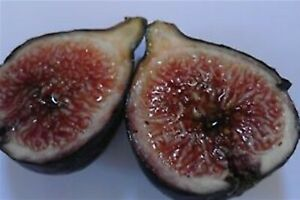 VASILIKA MAVRA (Royal Black Figs) -Greek Variety (2 fresh cuttings)