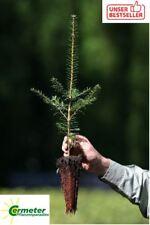 10 Stück Jungpflanzen Nordmanntanne Abies nordmanniana im Topf 20-25cm