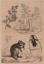 Capraria.Cerambyx/Capricorn beetle.Capparis spinosa/caper.Desmarest hutia 1834
