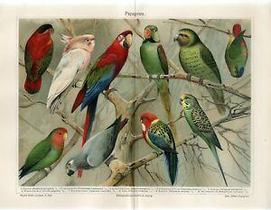 1895 MACAW COCKATOO JAKO LORI ROSELLA GREY PARROT AntiqueChromolithograph Print