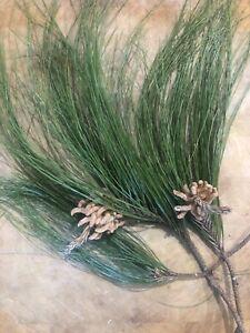 Organic Pine Needle Tea Australian Farm 200g Express Postage Available