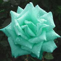 200 Minzgrün Rosen Samen Rosensamen Schmetterlinge P0R9 Garten lieben Blume Y5J6
