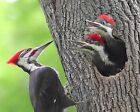 Woodpecker / Bird 8 x 10 / 8x10 GLOSSY Photo Picture IMAGE #5