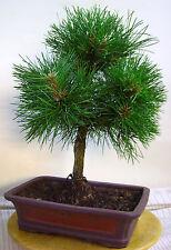 *CBG, Outdoor-Bonsai, einheimische Schwarz-Kiefer, Pinus, ca.15 Jahre, 211