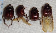 Geotrupidae 4 Bolboceratinae Eucanthus lazarus A1 Indiana #Aa40 Scarab Beetle