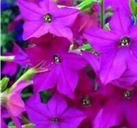Nicotiana - Perfume Bright Rose - 50 Seeds