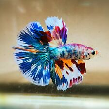 Live Betta Fish - Male - Fancy HalfMoon Betta(HFJUL53)(High-Grade)