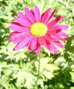 "Bunte Margerite (Chrysanthemum coc. ""Robinson Rosa"") Pflanze im 9x9cmTopf"
