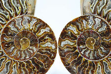 """Fossil Pair Ammonite Great Color Crystal Cavities 155mm XXLRG 6.1"""" 155mm e2758x"""