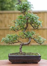 aus dem tollen Pfefferbaum kann man einen wunderbaren Bonsai ziehen.