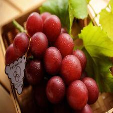 Ruby Roman Grape 10 Seeds My Organic Garden Ishikawa Prefecture, Japan Red Round