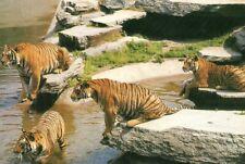 postcard:  TIGERS IN GERMAN ZOO