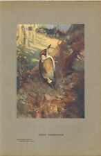 1907 original print - green woodpecker . from a water colour by frank southgate