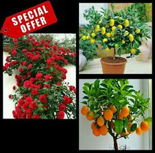 Hybrid seeds - climbing red rose, lemon, orange bonsai plant seed 10 seeds each