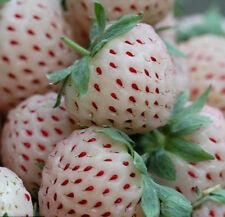 200 White Strawberry Seeds Fragaria Ananassa Organic Fruit Bulk Seed S006