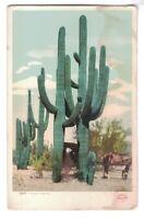 Vtg Postcard Giant Saguaro Cactus Horse & Buggy Detroit Publishing Color c1905
