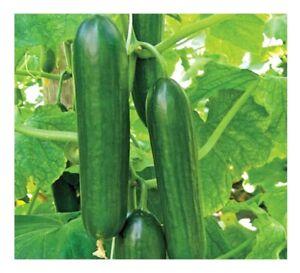 Cucumber Beth Alpha F1 - 50 Finest Seeds -1st Class