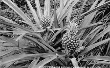 B84918 pina fruta que produce y exporta el  ecuador