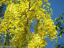 GOLDEN SHOWER TREE SEEDS( Ornamental plant)- Cassia Fistula - Amaltas - 15 Seeds