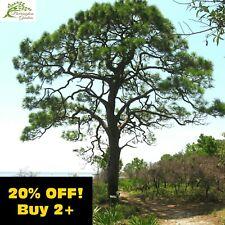☆Slash Pine Tree 2g 50x Seeds (Pinus Elliottii) Bonsai Subject Species