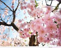 30 Pcs! Beautiful Japanese Sakura Flower Red seeds Cherry Blossoms Tree seeds