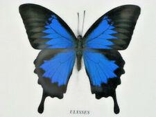 Blue Mountain Butterfly - Papilio ulysses Schmetterling im Schaukasten aus Holz