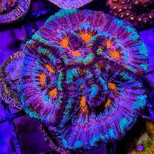 Voodoo Magic Rainbow Wilsoni Colony Lps-Neon Reefs- Wysiwyg Live Coral Frag