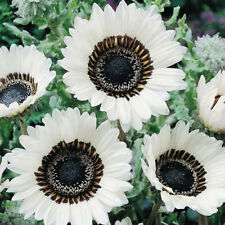 50+  WHITE MONARCH OF THE VELDT,  VENIDIUM FASTUOSUM, CAPE DAISY FLOWER SEEDS