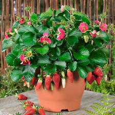 New listing 200 pcs Red Strawberry Seeds Decilious Fruit