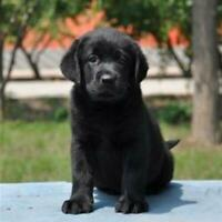 Squatting Black Labrador Lifelike Stuffed Companion Realistic Dog Simulation Toy