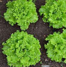 500 Samen Pflück-Salat Grand Rapids Dauerernte für die ganze Saison