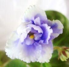 African violet PLUG starter plant BLUE LACE