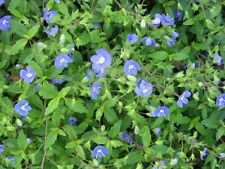 50 CREEPING BLUE SPEEDWELL / VERONICA Repens Flower Seeds *Comb S/H & Free Gift