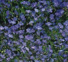 Kings Seeds-Lobelia Cambridge BLU - 2500 semi
