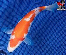 "New listing 7"" Kohaku Live Koi Fish Pond Garden Bkd"