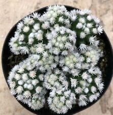 """Mammillaria Vetula Subsp. Gracilis 'Arizona Snowcap', Comes in a 3.5"""" pot"""