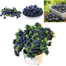 50Pcs Rare Blueberry Tree Seeds Fruit Potted Bonsai Home Garden Plant Decor