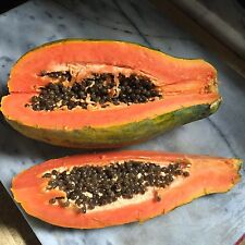 5 Solo Papaya Seeds TROPICAL FRUITING TREE -USA GROWN