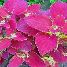 Coleus Jazz Velvet 20 Seeds  Garden Seeds 2u
