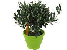 Olivenbaum in grüner Schale (Olea europaea)