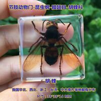 1pcs Insect Specimen in Resin Paperweight Hu wasp Specimen Collection