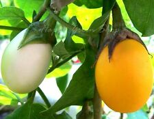 AUBERGINE - GOLDEN EGGS - 40 SEEDS -  WHITE TO YELLOW - Solanum Melongena